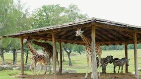 徒步旅行队公园蓬比亚,意大利- 2018年7月7日:好奇长颈鹿在徒步旅行队动物园里 在汽车的旅行 长颈鹿走 股票录像