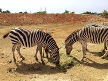 徒步旅行队汽车动物园 免版税库存照片