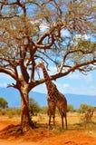 徒步旅行队长颈鹿 免版税库存照片