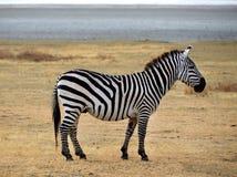 徒步旅行队-查找的斑马摆在和好奇地 免版税库存照片