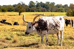 得克萨斯在一个领域的长角牛母牛与安格斯母牛 免版税库存图片