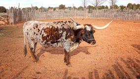 得克萨斯在管子春天国家历史文物的长角牛操舵 库存图片