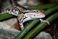 得克萨斯多刺的蜥蜴 免版税库存照片