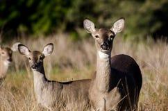 得克萨斯小山国家白色盯梢了鹿母鹿和小鹿 库存图片