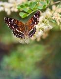 得克萨斯月牙蝴蝶 免版税库存照片