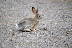 得克萨斯棉尾兔兔宝宝在石渣走道停留了 免版税库存图片