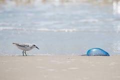 得克萨斯海岸鸟和水母 库存照片