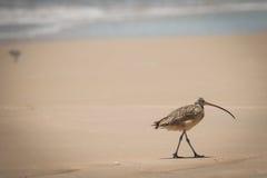 得克萨斯海岸鸟长嘴鸟的麻鹬 免版税库存图片