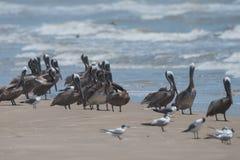得克萨斯海岸鸟 免版税库存图片