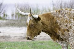 得克萨斯漫步长角牛的关闭海岸线 库存照片