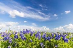 得克萨斯矢车菊被归档的和蓝天在恩尼斯 免版税库存图片