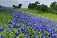 得克萨斯矢车菊领域在春天 免版税库存图片