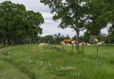 得克萨斯草甸、野花和母牛 免版税图库摄影
