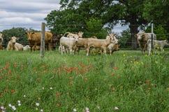 得克萨斯草甸、野花和母牛 库存照片