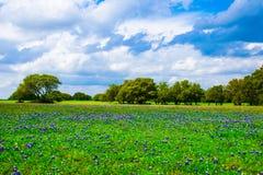 得克萨斯草甸矢车菊领域在春天 免版税库存图片
