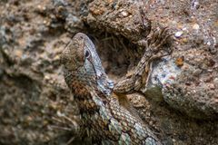 得克萨斯蜥蜴 库存照片
