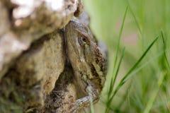 得克萨斯蜥蜴 免版税库存图片