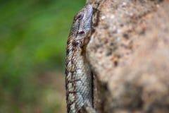 得克萨斯蜥蜴 库存图片