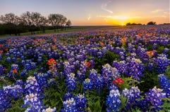 得克萨斯野花-矢车菊和印度画笔在日落归档了 免版税库存照片