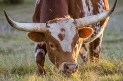 得克萨斯长角牛公牛,漂流木头得克萨斯 库存图片