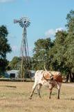 得克萨斯长角牛和风车 免版税库存图片
