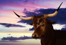 得克萨斯长角牛的画象在日落的 免版税库存照片
