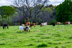 得克萨斯长角牛 免版税库存图片