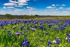 得克萨斯领域的一个大美好的五颜六色的广角看法覆盖与著名得克萨斯矢车菊。 免版税图库摄影