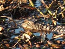 得克萨斯鳄鱼 库存照片