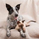 得克萨斯heeler狗和一只幼小暹罗猫在一条软的毯子 图库摄影