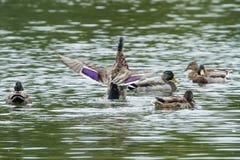 得到在挡水板的一只母野鸭鸭子 库存照片