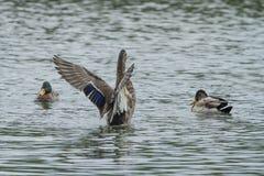 得到在挡水板的一只母野鸭鸭子 免版税库存照片