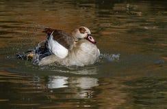 得到埃及的鹅湿 库存图片