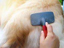 得到护发的金毛猎犬狗 免版税库存照片