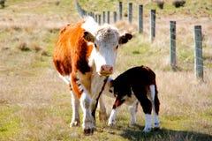 得到清早早餐的幼小小牛 库存照片