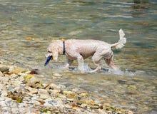 得到玩具的湿狗从海 库存照片