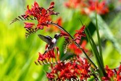 得到花蜜的蜂鸟从花 免版税库存照片