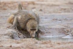 得到饮料的狒狒从水坑 免版税库存图片