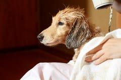 得到他的毛皮的狗烘干了与吹风机在groomer 免版税库存照片