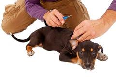 得到Microchipped的小狗 免版税图库摄影
