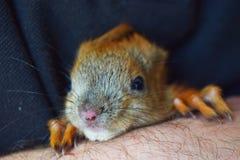 得心应手的小灰鼠 库存照片