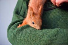 得心应手的小的灰鼠 库存照片