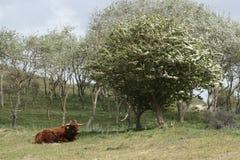 徘徊在荷兰沙丘的高地牛 库存图片