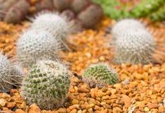 微型仙人掌的庭院 库存图片