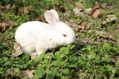 微型兔子 免版税库存照片