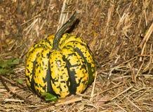 微型南瓜黄色特写镜头标志秋天自然本底 库存照片