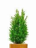 微型圣诞树 免版税库存图片