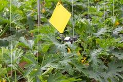 微型寄生虫飞行自夏南瓜庄稼的一间温室 库存照片