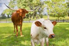 微型得克萨斯长角牛小牛和成人 库存图片