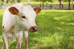 微型得克萨斯长角牛小牛 免版税库存图片